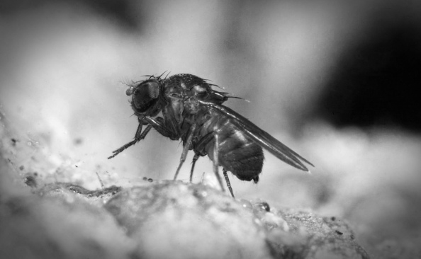 Early experiments on Drosophila birchii  suggested it lacked the genetic potential to evolve in response to climate change. Image credit: Andrew Weeks